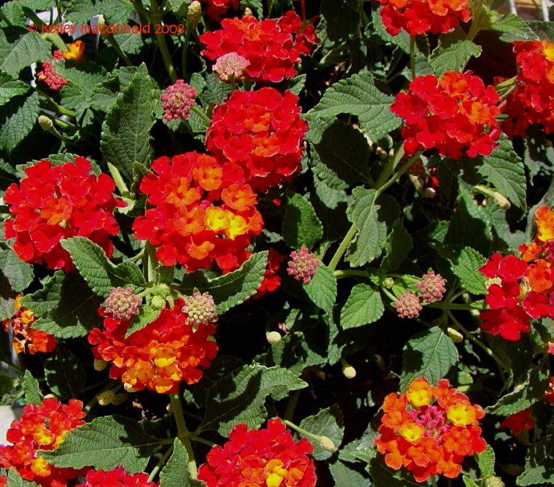 Plantfiles Pictures Lantana Dallas Red Lantana Camara By Chamma Lantana Lantana Camara Daylily Nursery