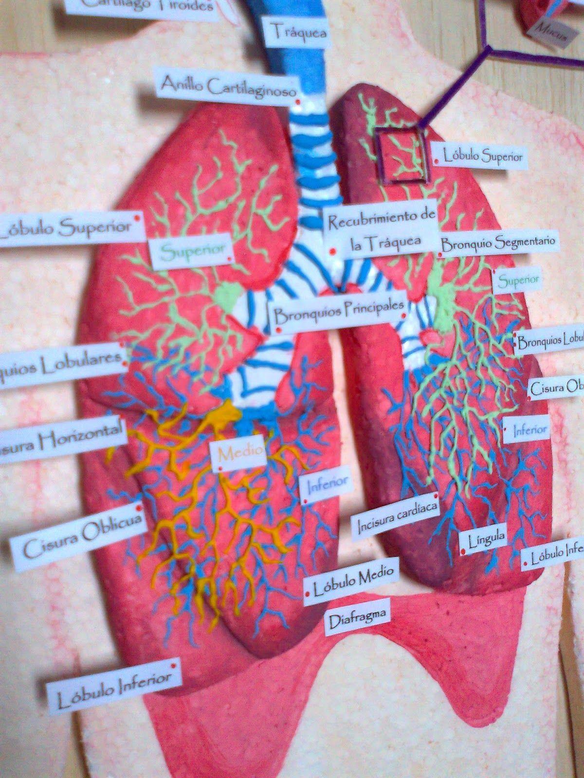 Maquetas Y Arte Aparato Respiratorio Maqueta Del Sistema Respiratorio Maqueta Del Aparato Respiratorio Maqueta Del Sistema Digestivo