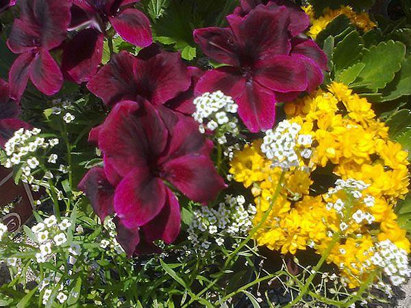 Garden Design Com small Alyssum White More Pictures Here Httpflower Garden Design