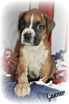 Litter Of 9 Boxer Puppies For Sale In Clayton Nj Adn 29849 On