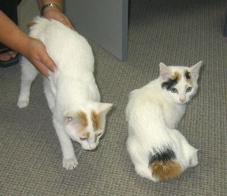 Cats Japanese Bobtail Japanese Bobtail Bobtail Cat Cats And