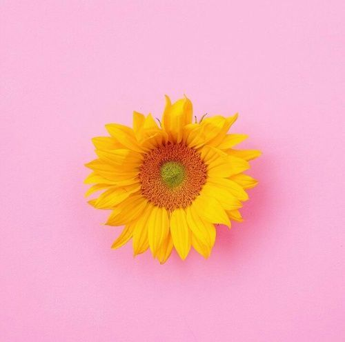 Image Result For Pink And Yellow Aesthetic Yellow Aesthetic Pink Sunflowers Pink Aesthetic