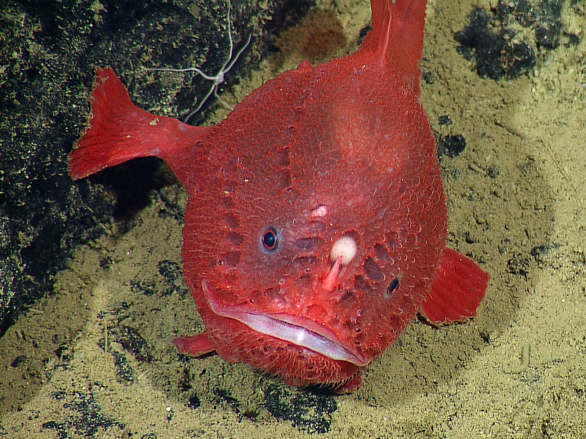 Photos: Rare Deep-Sea Anglerfish Recorded | Pinterest | Deep sea ...