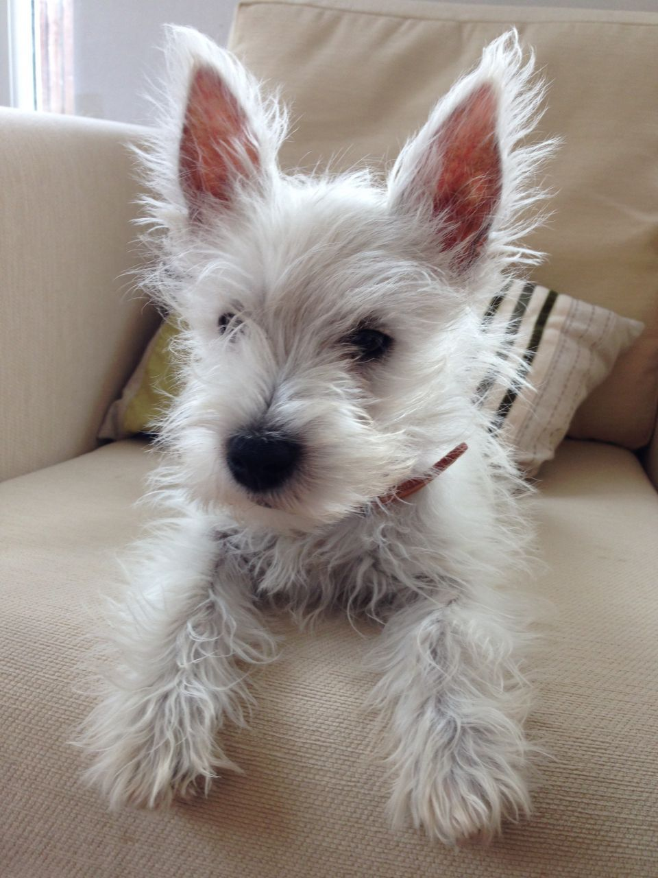 Oscar 14 Week Old Pedigree Westie Wht Puppy Westies Puppies Dogs