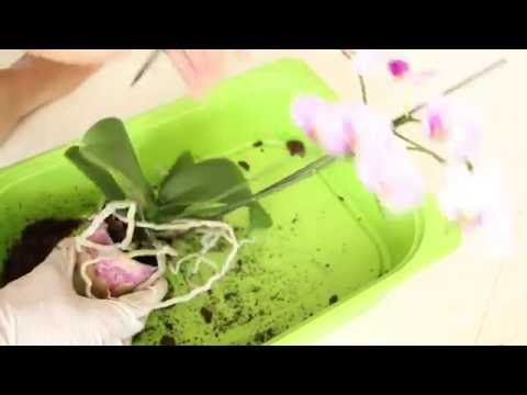 4 Comment Transferer Une Orchidee Hydroculture Demo