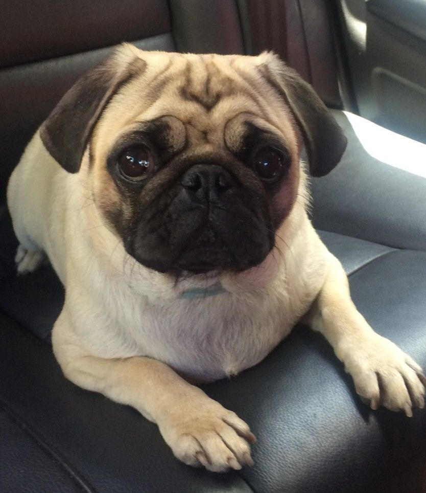 Pin By Isaiah Bays On Just Pugs Cute Pugs Pug Puppies Puppies