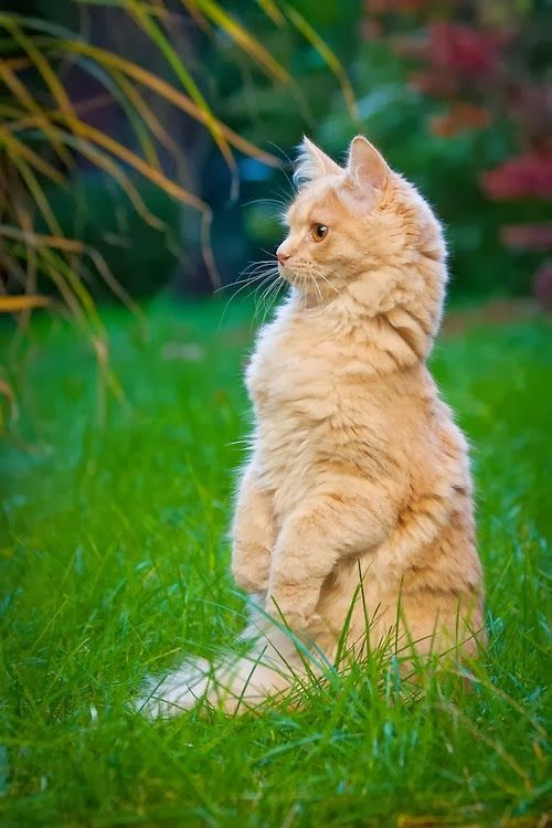 A couple of funny cats take an adventure in their own backyard. Does your  cat - Outdoor Adventure With Some Funny Cats [VIDEO Pinterest Backyard
