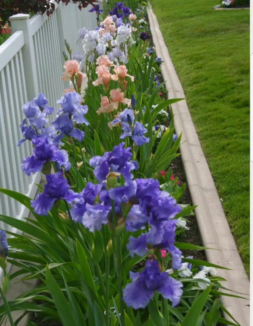 Pin By Sherry Allnutt On Garden Ideas Iris Garden Flower Landscape Iris Flowers