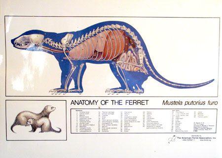 Ferret Anatomy Poster | FurryFerrets | Pinterest | Ferret, Anatomy ...