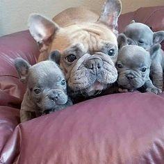 Happy Love Day from this loving family!! @lavishfrenchbulldogs #frenchie #bouledogue #frenchiepuppy #frenchiepup #ilovemyfrenchie #frenchbulldogs