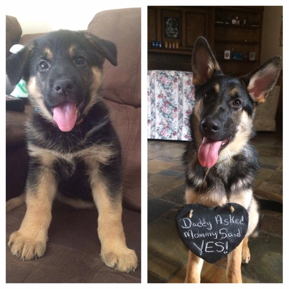 Check Out This German Shepard S Adorable Transformation Thank You