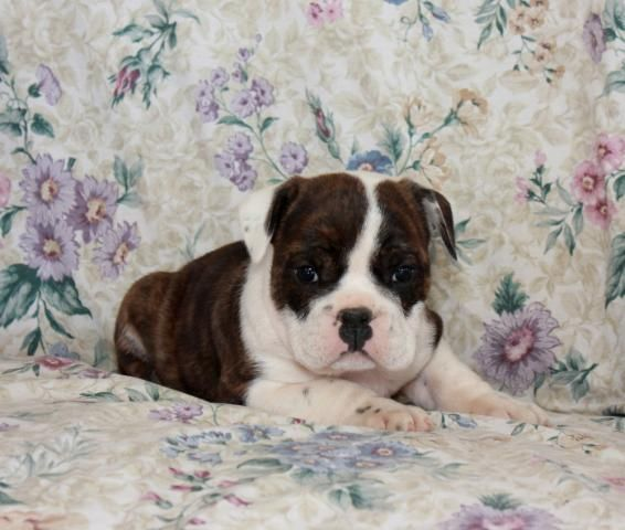 English Bulldogs For Sale In Pennsylvania English Bulldog Puppy