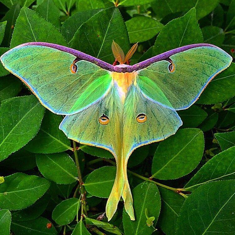 Luna Moth Sommerfugl Skjonnheter
