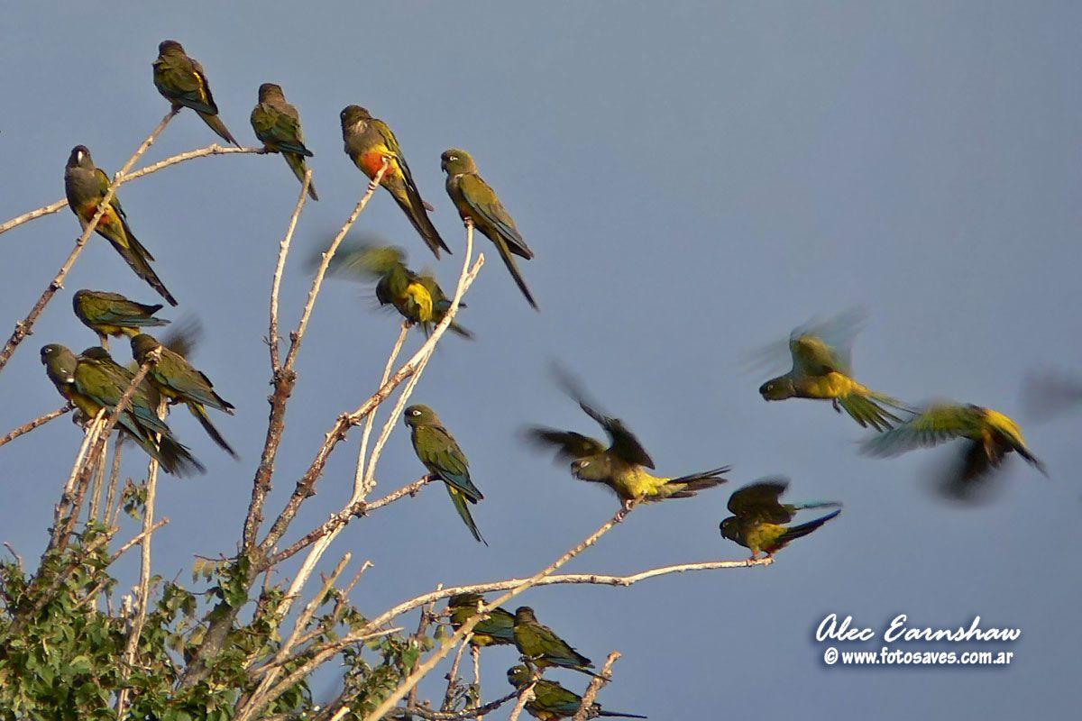 Loro Barranquero / Burrowing Parakeet