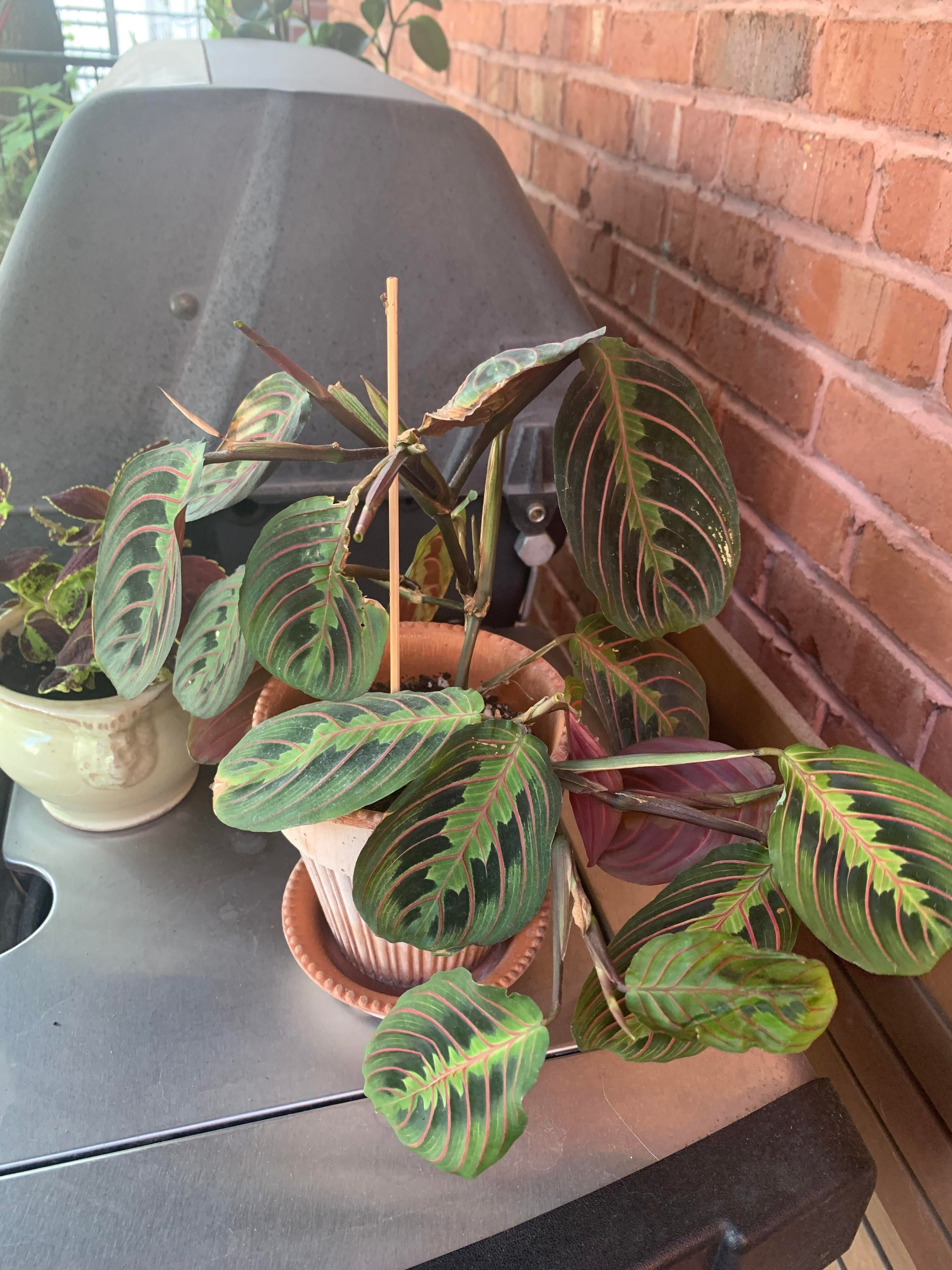 Anyone knows why my prayer plant looks so dry?? I was like that when I got it 2 months ago. I mist it everyday and the soil is always humid. It stays outside for now because the humidity is over 70% everyday.