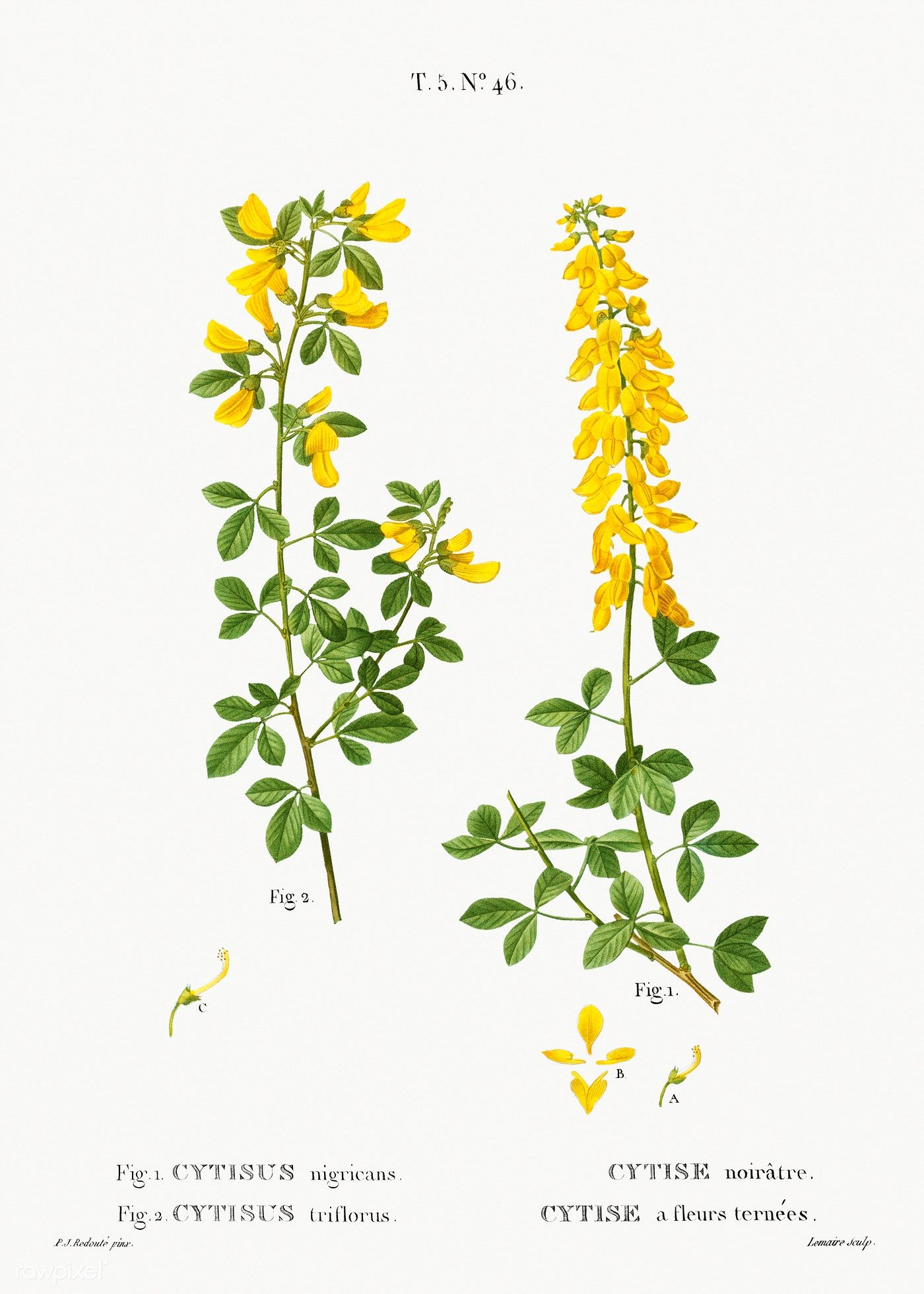 Black Broom Cytisus Nigricans And Hairy Broom Cytisus Triflorusfrom Trait Eacute Des Arbres Et Arbus Plant Illustration Botanical Artwork Botanical Drawings