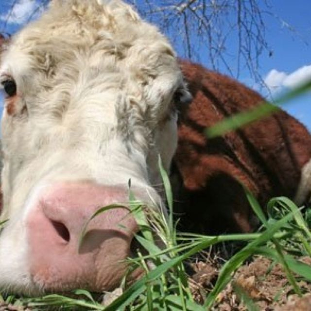 Buddha Is A 13 Year Old Therapy Cow That Lives At The