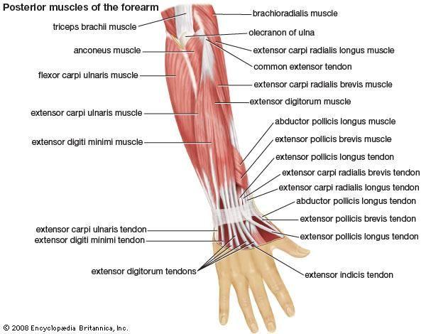 extensor digitorum longus hand Ана�омия �еловека