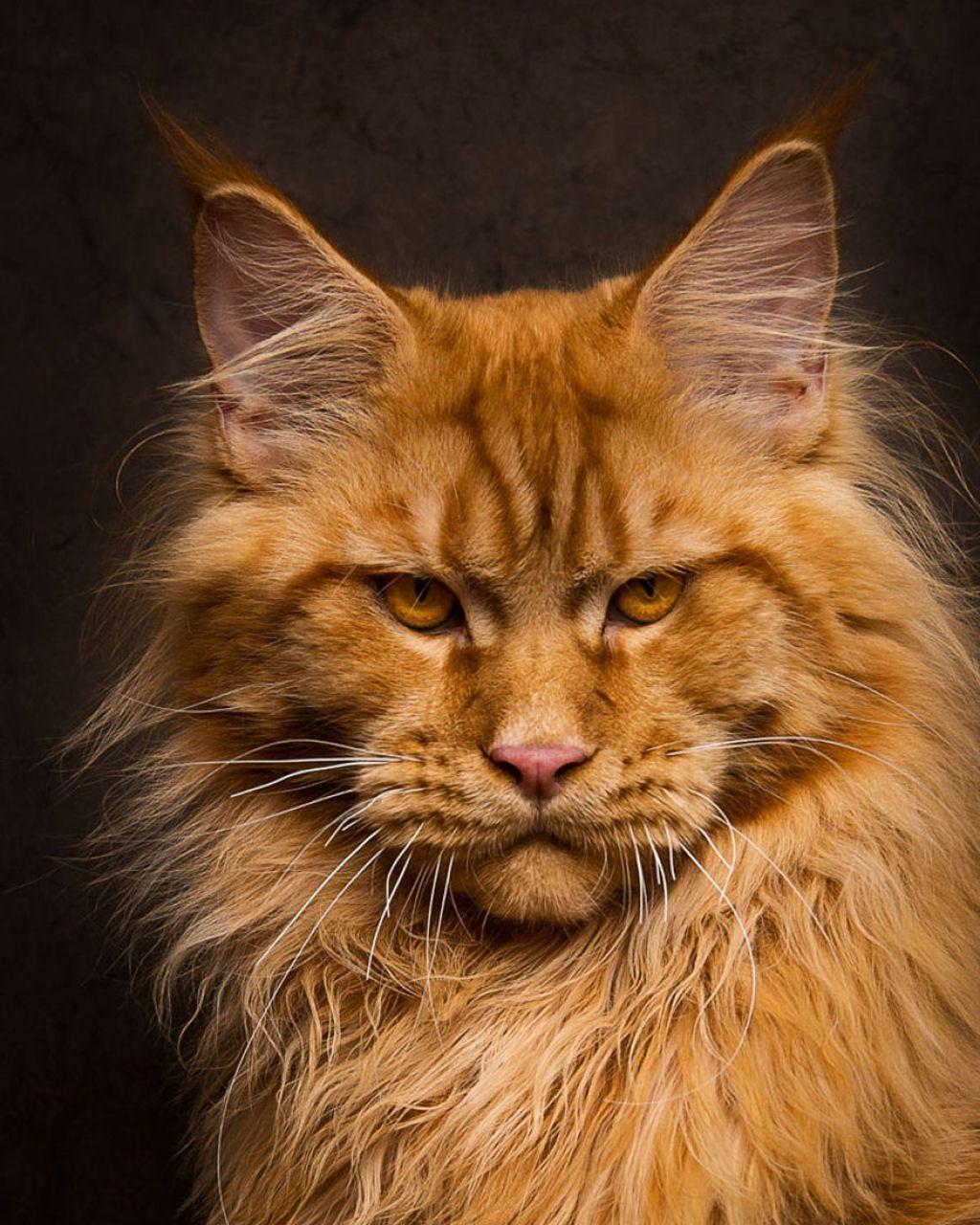 Retratos de gatos Maine Coon que se parecem com criaturas míticas majestosas 15