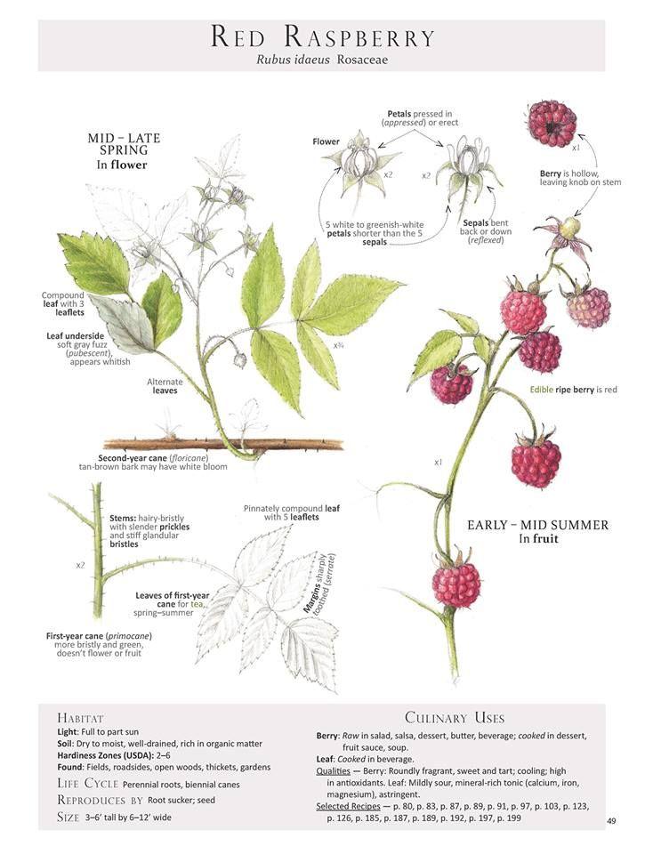 Pin by chestnut school of herbal medi on bos raspberry