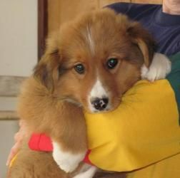 Adopt Timmy On English Shepherd Collie Border Collie