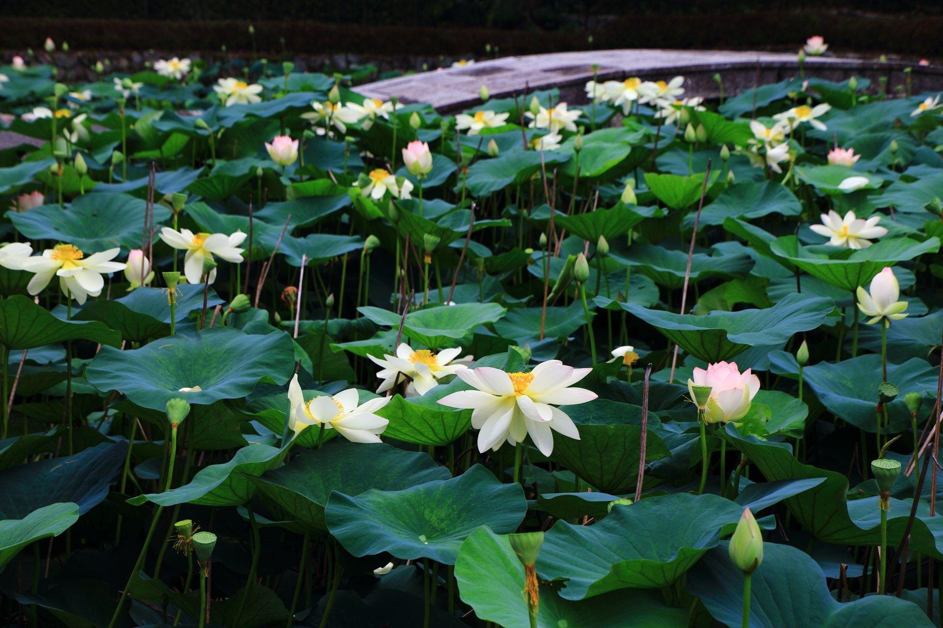 緑に映える華やかな白いはすの花 ハスの花