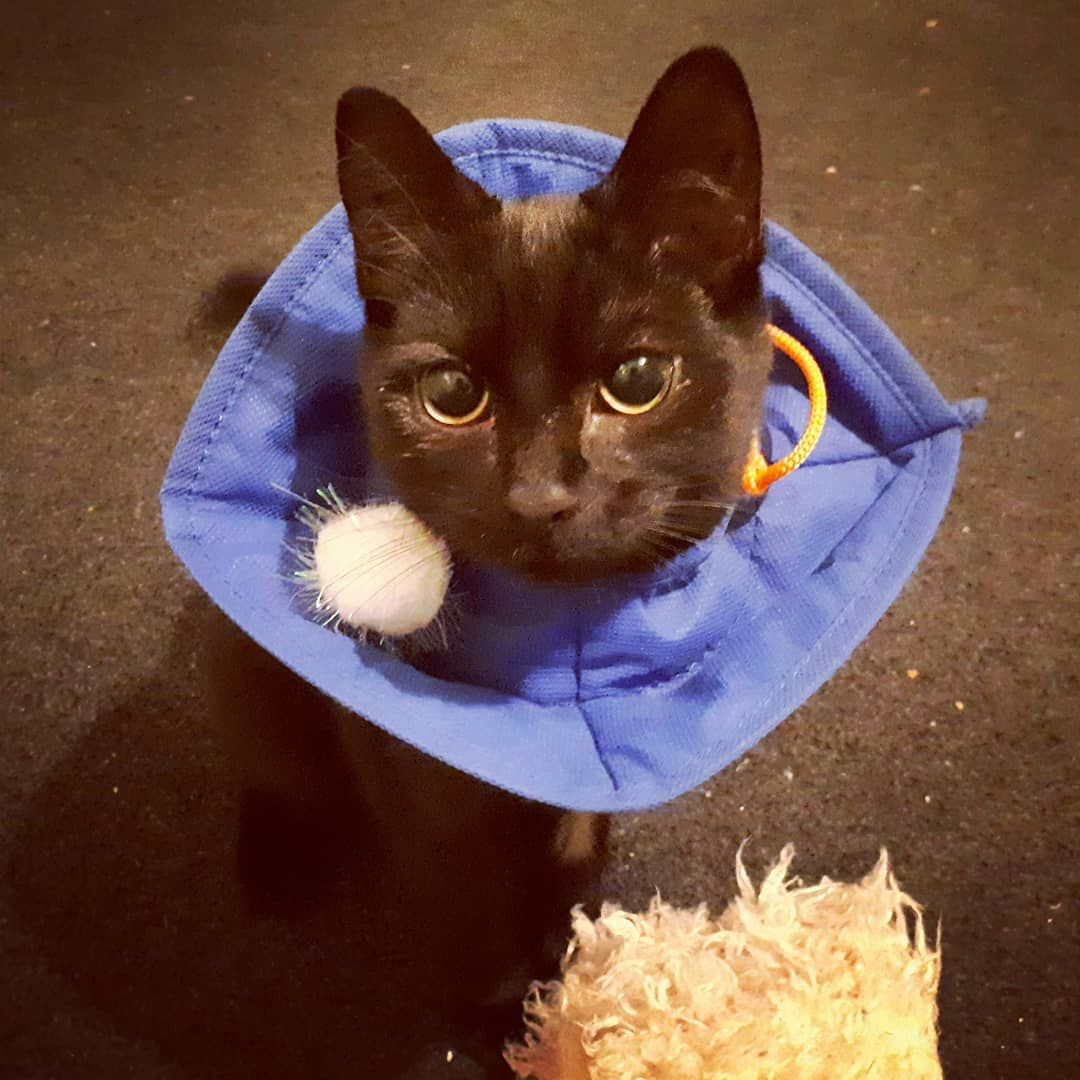 Cons Being Spayed And Having To Wear This Cone Pros I Can Store My Favorite Pom Pom In The Cone Kitten Kitte Cat Toys Kitten Rescue Cat Photography