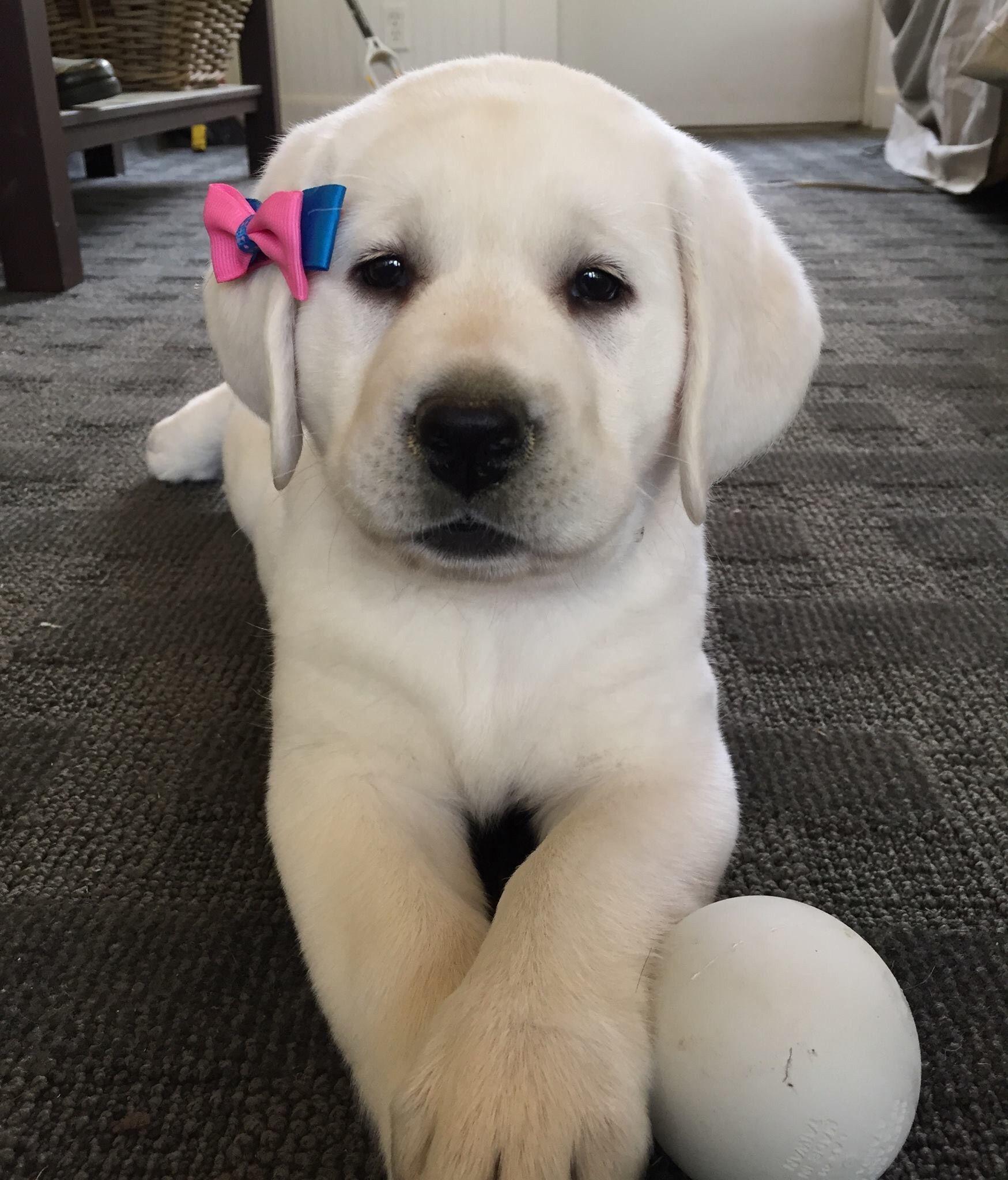 Charlie Lab Puppies Labrador Retriever Puppies
