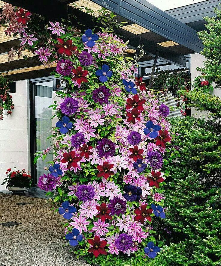 Trellis For Clematis Ideas Part - 29: Multi-colored Clematis On A Pergola- Wow