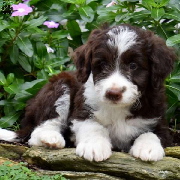 Jack Bordoodle Puppy For Sale In Pennsylvania Puppies For Sale