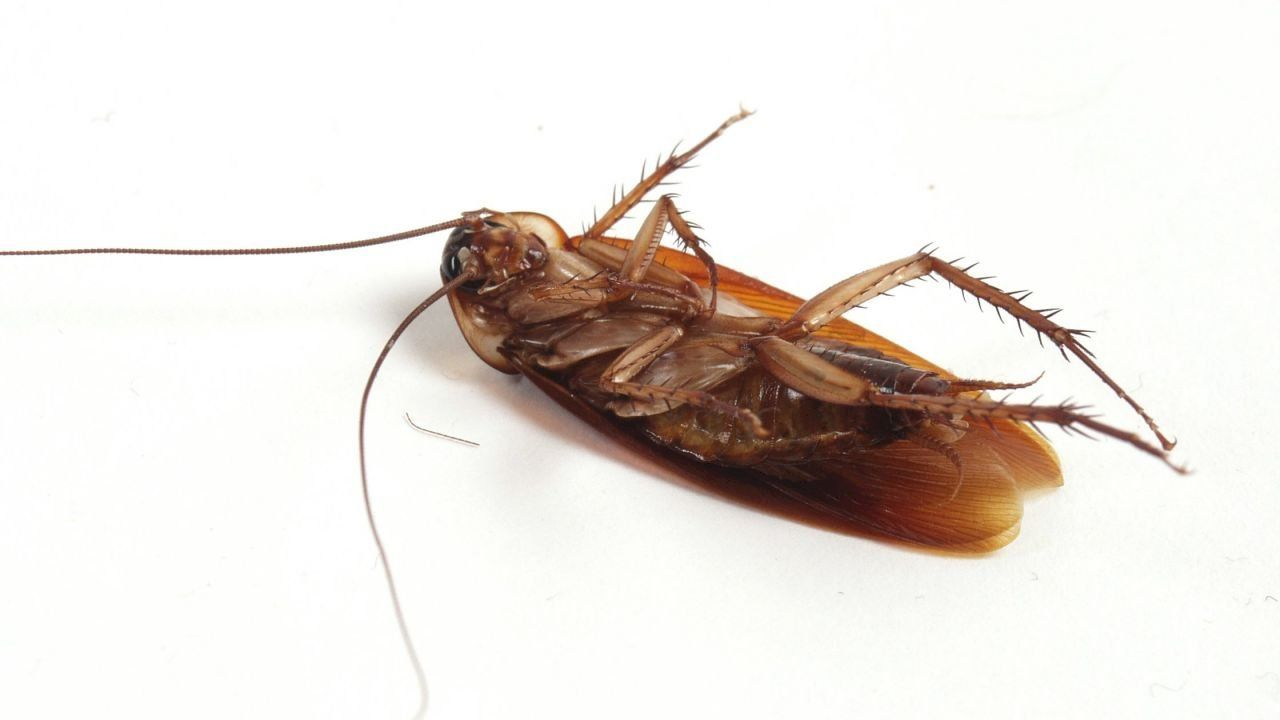 تفسير الصراصير في الحلم Best Pest Control Pest Control Pests