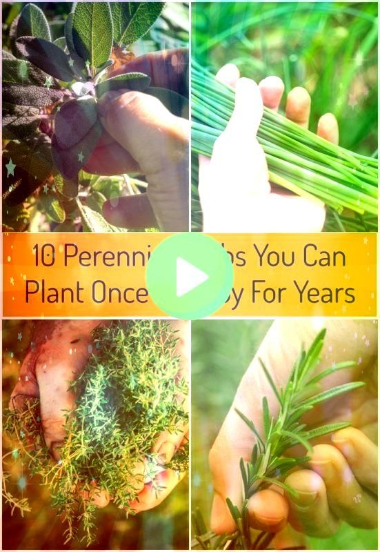 Perennial Herbs You Can Plant Once  Enjoy For Years10 Perennial Herbs You Can Plant Once  Enjoy For Years Learn how to root rosemary cuttings and grow new rosemary herb p...