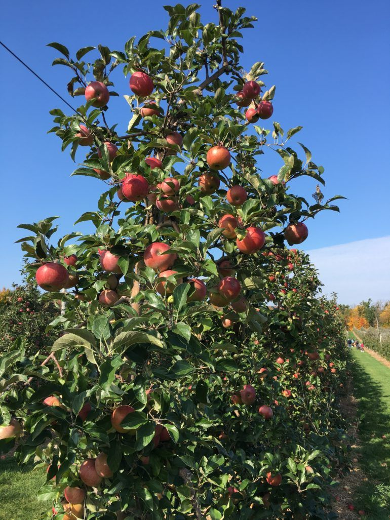 Northern Spy apples on tree in apple Chudleigh's orchard