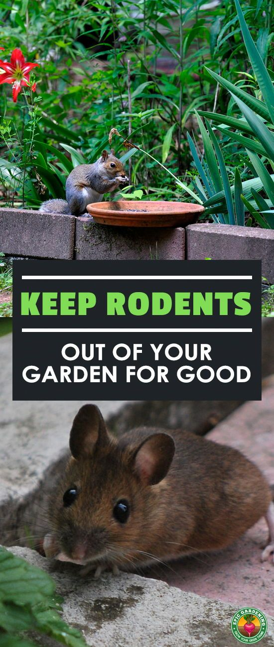 Keep rodents out of your garden for good gardening pinterest garden pests garden and for How to keep mice out of garden