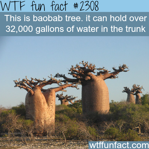 Amazing Funny: The Baobab Tree - WTF Fun Facts