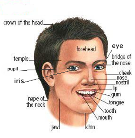 Brahe facial part