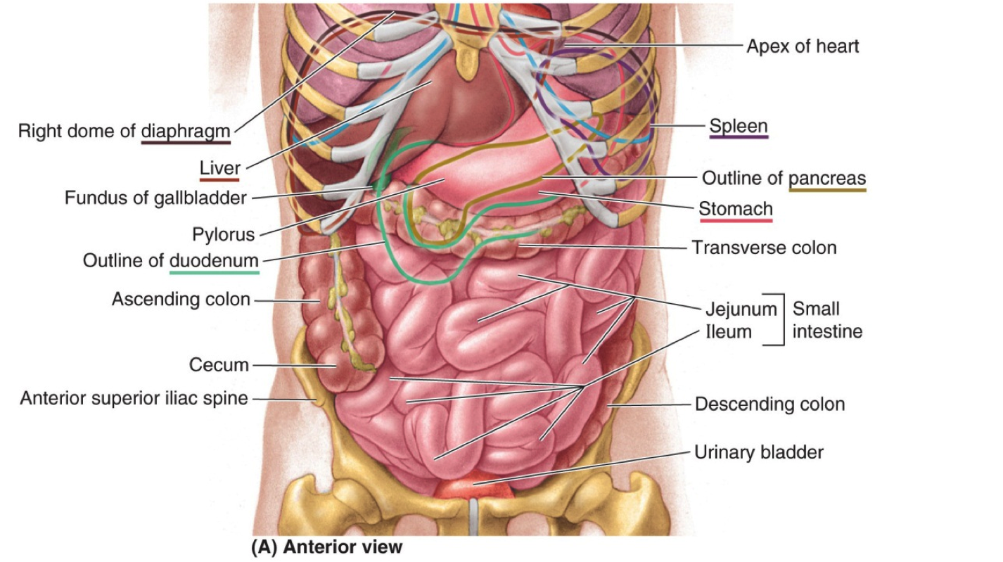 ABDOMEN anatomy regions \