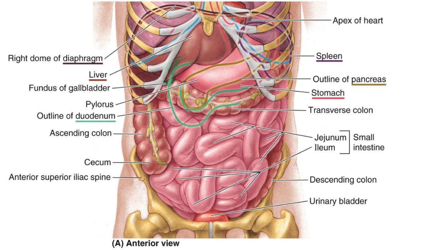 search google and anatomy on pinterest : abdomen diagram female - findchart.co