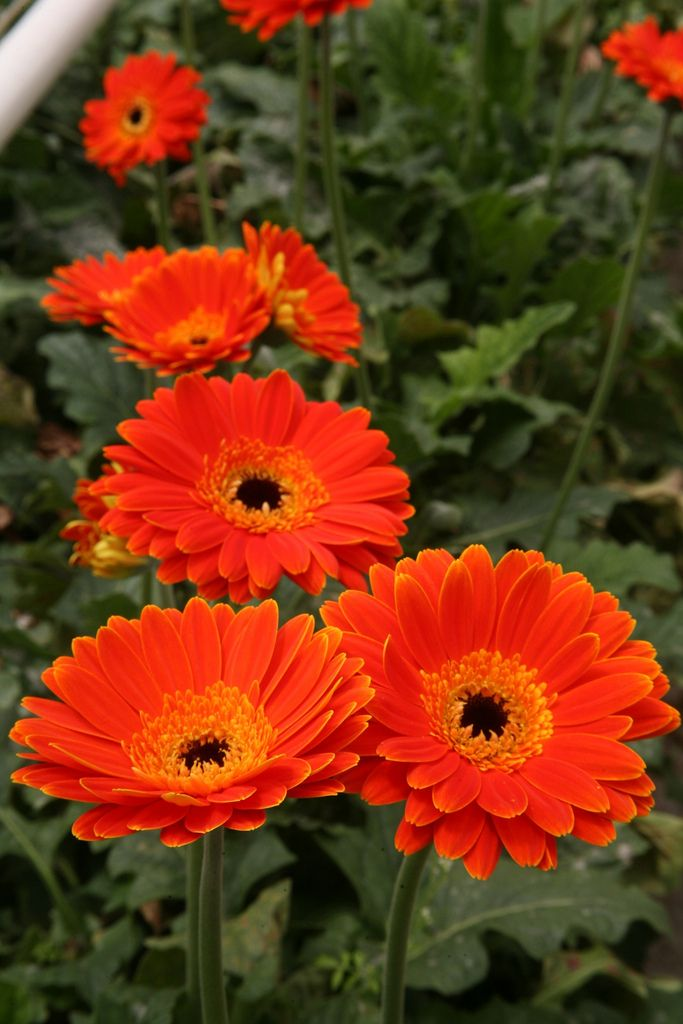 Vibrant Gerbera Daisies Growing Under The Glass Of A Greenhouse And Kept Warm By The Clean Natural Gas Provided By Flower Farm Gerbera Daisy Gerbera