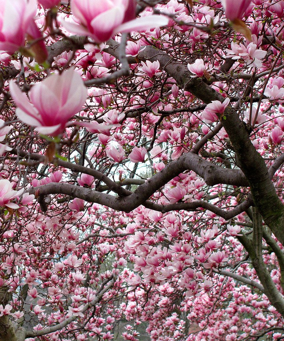 Look At This Zulilyfind Live Magnolia Alexandrina Tree By Perfect Plants Zulilyfinds With Images Perfect Plants Magnolia Trees Magnolia