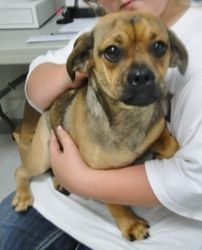 Adopt Pugzlee The Puggle On Pug Mixed Breeds Pug Beagle Mix