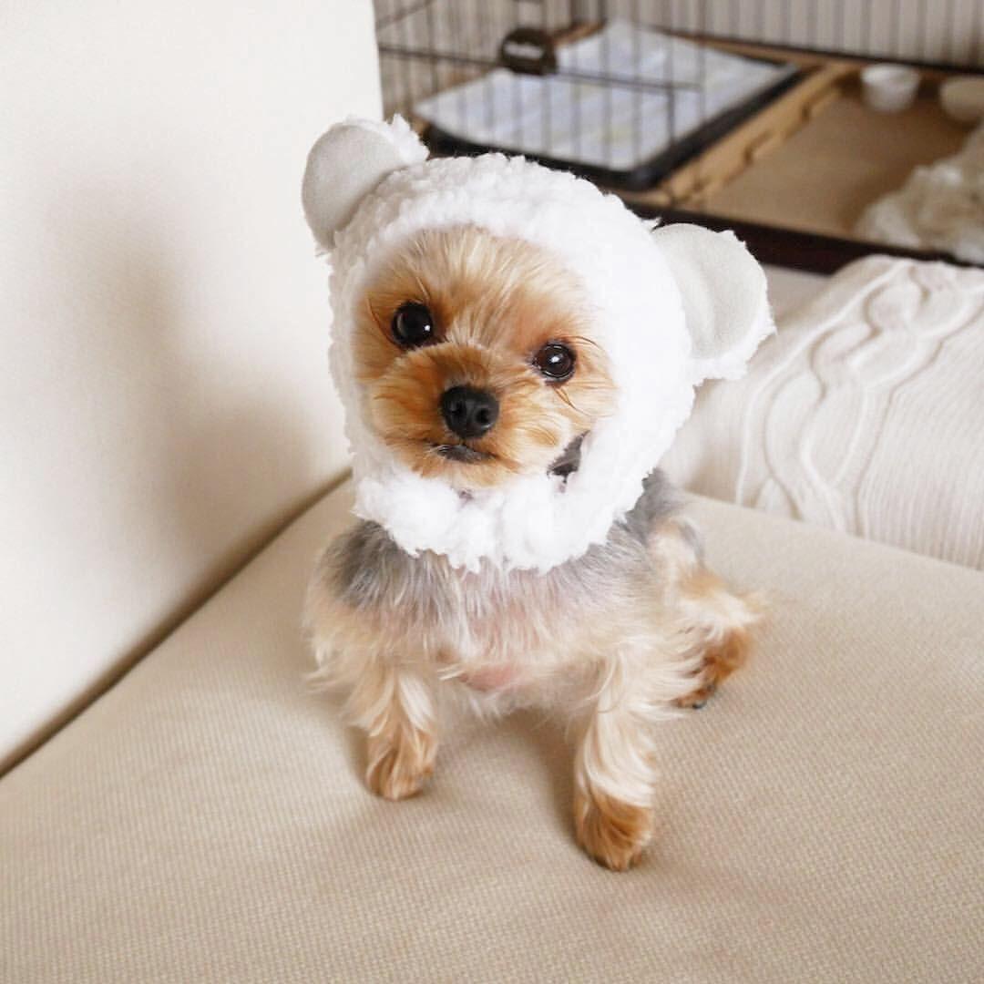 パピコ On Instagram しろくまパピコはいかがですか みんなインフルエンザが流行ってるから気をつけてね ヨーキー ヨークシャテリア ヨーキー倶楽部 ヨーキーlove 犬のいる暮らし いぬすたぐらやむ 今日のわんこ わ Dogs Animals