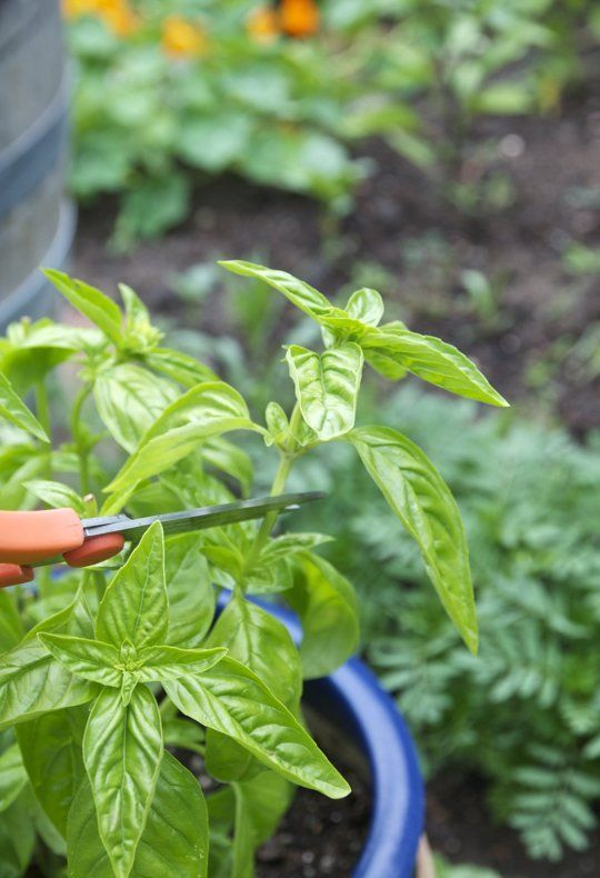 Everything You Need To Know About Growing Basil Container Herb Garden Basil Plant Herbs