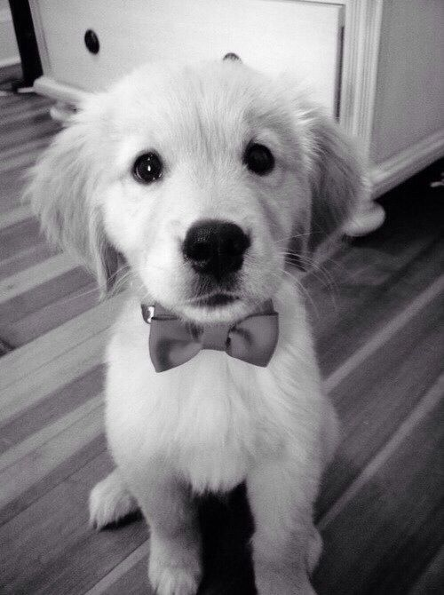 Puppy! With a bow tie!