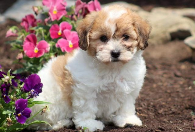 Shichon Teddy Bear Puppies For Sale Puppy Adoption Keystone Puppies In 2020 Teddy Bear Puppies Teddy Bear Dog Shichon Puppies
