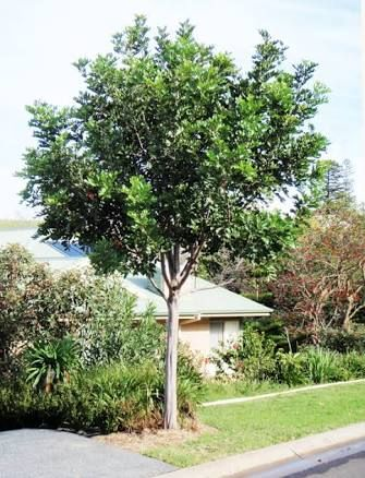 Tuckeroo tree or carrotwood tree australian native for Small flowering trees for front yard