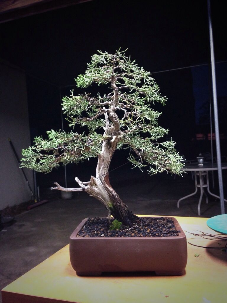 California juniper bonsai tree by jason chan bonsai art