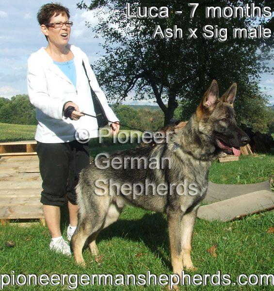 Our Large German Shepherds Large German Shepherd German Shepherd Breeds Shepherd Puppies