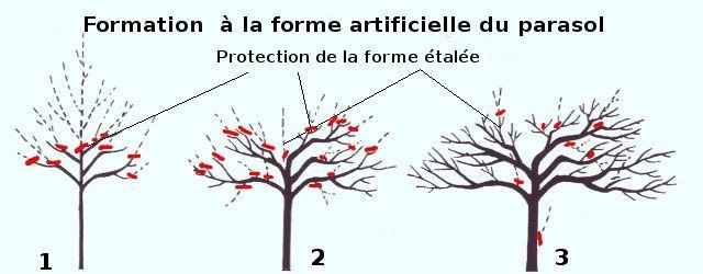 formation d 39 un arbre en parasol ou tonnelle id es jardin pinterest. Black Bedroom Furniture Sets. Home Design Ideas