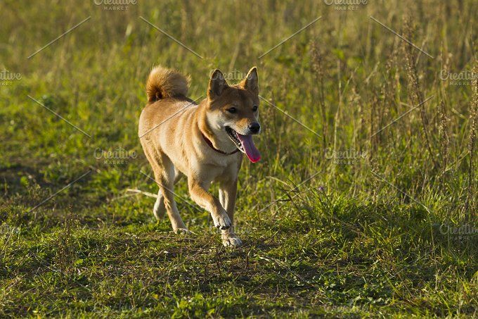 Japanese breed of dogs Sibu Inu for a walk Photos Dogs Japanese breeds Sibu Inu on a background of grass, sunlight by oleghz
